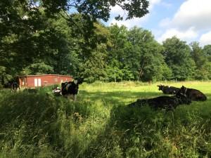 Koeien 2 (Medium)